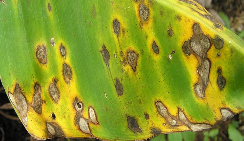 Mycosphaerella fijiensis